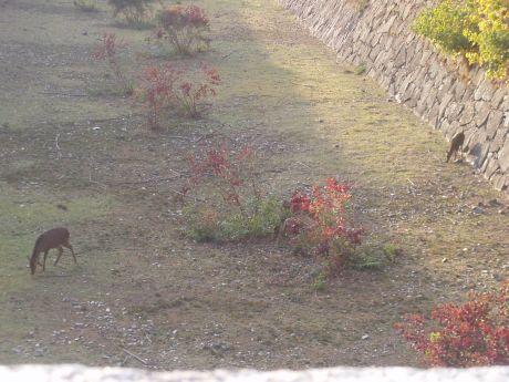 名古屋城(しか)